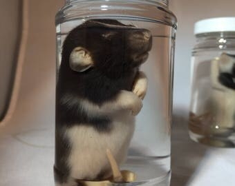 Baby Rat Wet Specimen. Pick your rat.