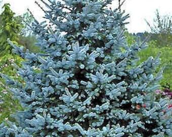 TS) COLORADO BLUE Spruce Tree~Seeds!!!~~~~~Evergreen Pine!!