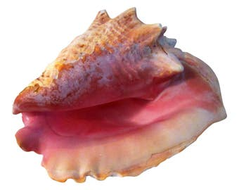 Large Natural Bahamian Pink Conch Shell