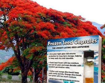 Royal Poinciana Flame Tree Seeds (Delonix regia) 3 Rare Tropical Tree Seeds in Frozen Seed Capsules  for Seed Saving or Planting Now