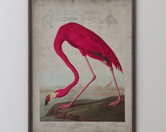 American Flamingo: John James Audubon, Birds of America, Circa 1820's