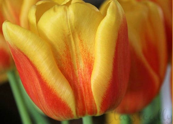 Tulip Photo Blank Greeting Card 5x7