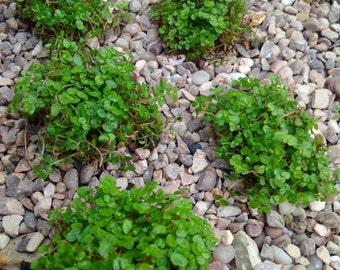 6 x Soleirolia Soleirolii. Fairy Moss,Babys tears,Helxine,mind your own buisness.Fairy gardens,Terrarium