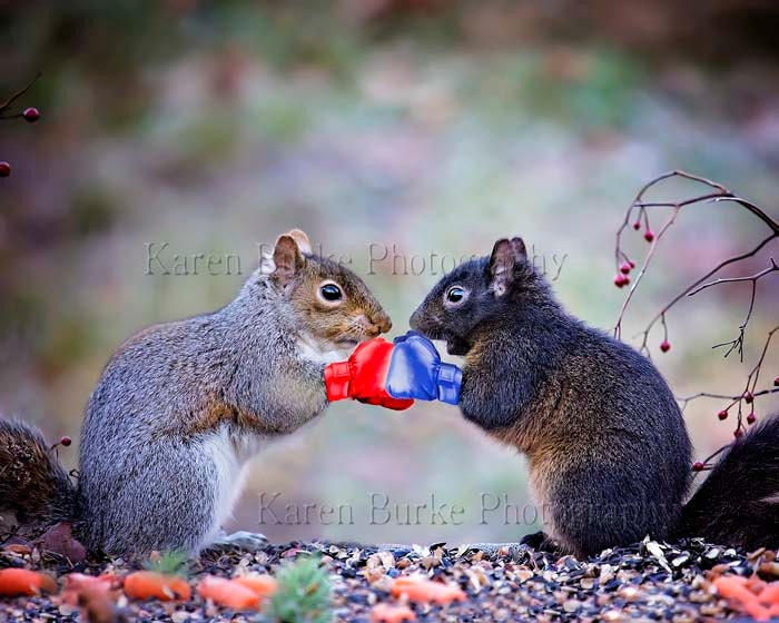 Funny Squirrel Art Boxing Squirrels Boxing Gloves Black