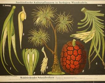 Vintage  Old Print on  Paper Kewda Pandanus Odoratissimus L. Lithograph  School Chart