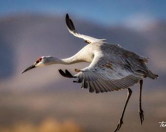 Sandhill Cranes, Bird, Crane Photo, Bosque del Apache, New Mexico, Nature Photography, SynVisPhotos, Canvas Wrap, Steve Traudt, Home Decor