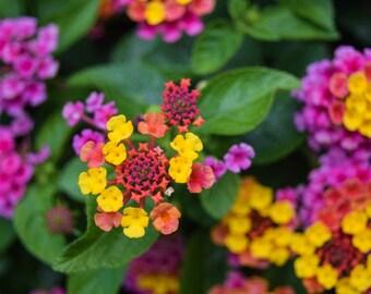 Helen's Star Flowers