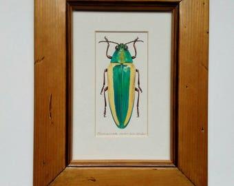Chrysochroa limbata -Framed Original artwork