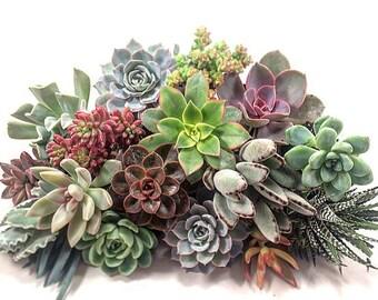 Succulent Plant Plugs Assorted (25)