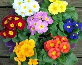 "Primrose ""Large Flowered Mix"" Seeds / Polyanthus Veris / Perennial Primrose"