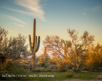 Golden Desert Saguaro Cactus at Sunset