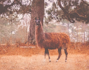 The Brown Llama Photograph Print - Nature - Decor - Country - Fine Art