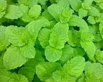 Lotto mix limone menta 15 semi Lemon Mint seeds