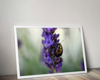 Original macro photograph of a scarab on a lavender flower