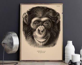 Monkey Art, Chimpanzee Print, Chimp Portrait Picture, Vintage Monkey Print Poster, Chimp Picture for Kid's Room, Chimp Print