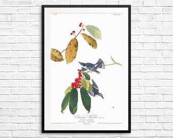 Cerulean warbler, cerulean warblers, cerulean blue, warblers art, Audubon warblers, warbler birds, warbler prints, birdwatcher gifts, prints