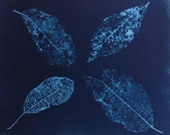 Skeletonized Leaves, Cyanotype, blueprint, botanical art print, graphic art print, fine art, blue photo, leaf print, nature photography