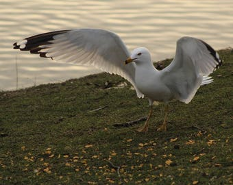 Stretching gull,seabird,seagull,grounded,feeding,beauty,landing,by the pond,sunset