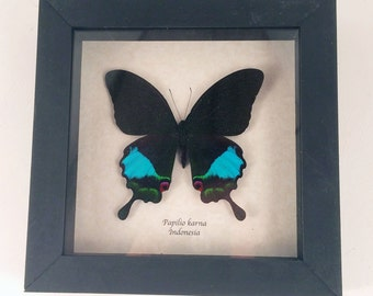 Real butterfly framed - Papilio karna