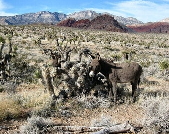 Wild Burro in Red Rock Canyon. Ran into this cute Burro while hiking in the desert a little north of Las Vegas.