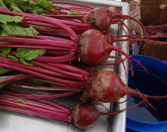 Early Wonder Beet Seeds- Beets-Organic-NON-GMO-Vegetable Seeds