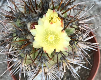 Rare Fero Cactus with Gorgeous flowers