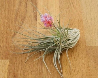 Cotton Candy Air Plant - Tillandsia Bromiliad
