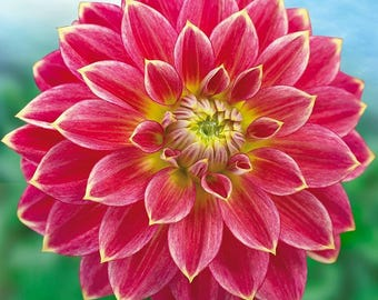 1 Dahlia Flower Bulb Variety of Colors ( you choose) Continues Summer Blooming