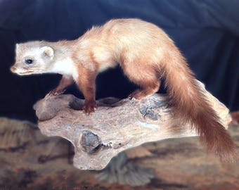 Lovely large naturalized ferret - Driftwood taxidermy/taxidermy 63 cm base