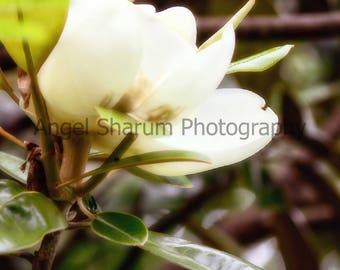 Dreamy Magnolia Bloom Digital Photo-Digital Download-Photography-Magnolia Tree-Bloom-Flower-White Flower