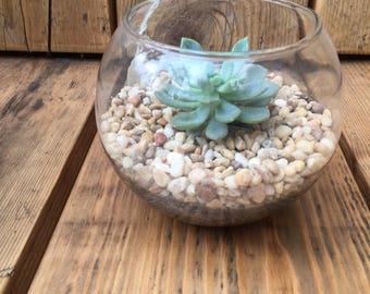 Single Succulent Terrarium