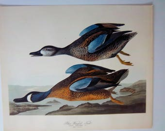 "VINTAGE 14 x 17 AUDUBON - ""Blue winged Teal"" duck lithograph print VG condition"