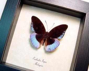 Rare Euthalia Iapis Horsfield's Baron Real Framed Purple Butterfly 8430