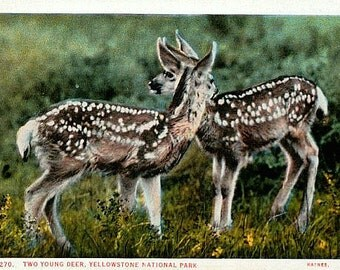 Yellowstone National Park Vintage Postcard - Two Young Deer (Unused)