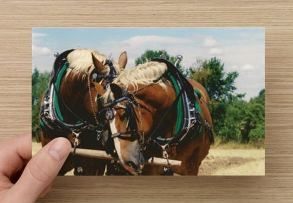 Horse Photography Draft Horses at Rest - Fall on the farm Animal Photography on Blank Note Card Horse Photo All Occasion Card B3G1F