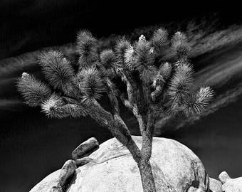 Joshua Tree and Boulders in Black and White or Sepia Tone at Joshua Tree National Park California No.0167 A fine Art Landscape Photograph