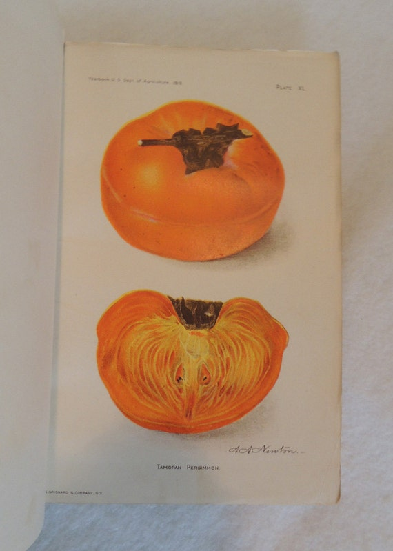 2 Original 1910 Lithograph 6 x 9 Colored Plates MANGO & PERSIMMON.. From U.S. Ag Yearbook