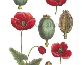 Red Poppy Flower Print. Poppy Garden Plant. Gift for Gardening Friend. Red Flower Poppy Print Bedroom Wall Decor. Papaver Red Poppy Plant