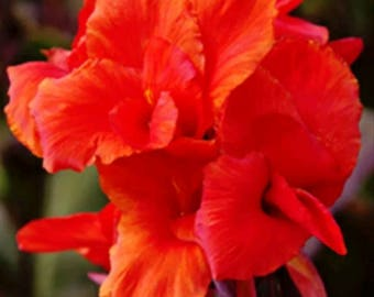5 Canna Lily 'Australia' Red / Bronze Purple Foliage Tall - Bulbs/Rhizomes