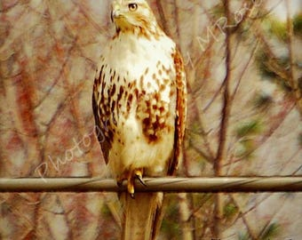 The Stare, Red-tailed  Hawk