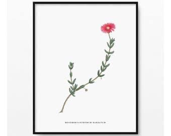 Succulent Botanical Print- Flower Wall Art- Vintage  Illustration- Botanical Wall Art- Plant Print- Mesembryanthemum Barbatum- (BP-066)