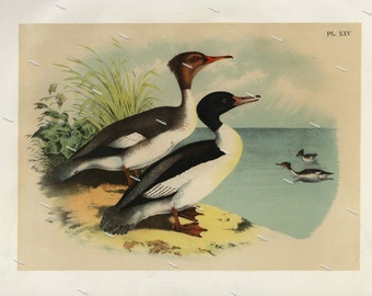 19th Century ChromoLithograph print of The Goosander original print decorative art nature print Birds of North America first Edition 1887
