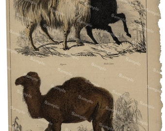 Animal Natural History original hand colored print of camels llamas  over 150 years old Rare find