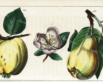 Original Antique Natural History Botanical Apple and a Pear Fruit Print -  Hand Colored Engraving