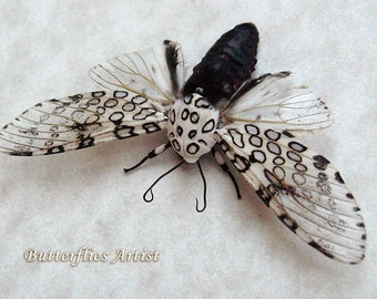 Real Giant Leopard Moth Hypercompe Scribonia In Museum Quality Shadowbox