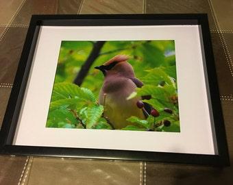 Cedar Waxwing, Bird, fine art, Photo print