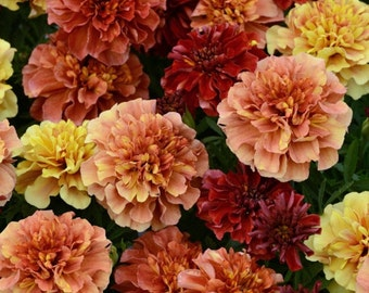French Marigold Strawberry Blonde * Multiple Flower Colors  On One Plant!!  25 Seeds