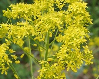 Isatis tinctoria (Dyer's Woad) [20 Seeds]
