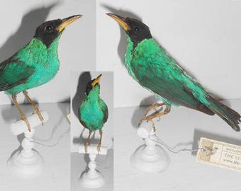Green Honeycreeper -Antique taxidermy bird