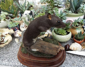 SALE :Albert the nature rat taxidermy